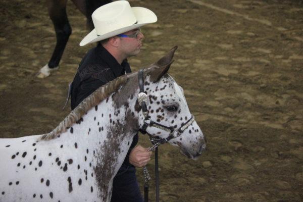 Allevamento cavalli Appaloosa